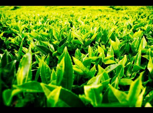 tea_leaf_by_mencobasesak