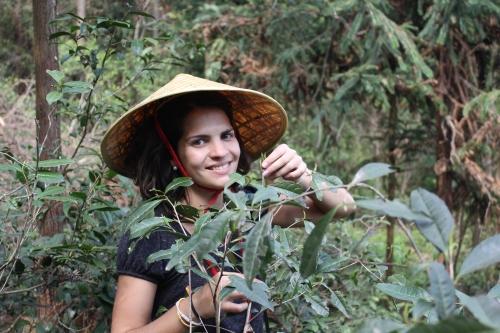 china. plantacao cha verde selvagem