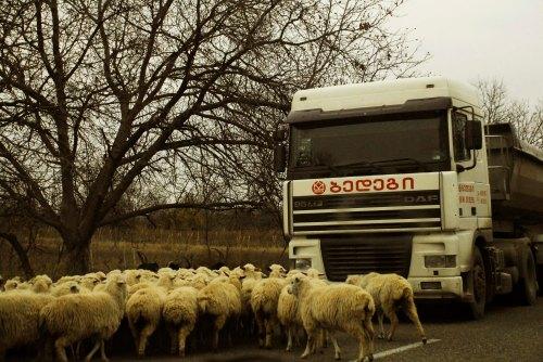 revolta das ovelhas