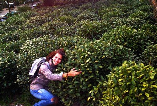 hugging tea bush pq