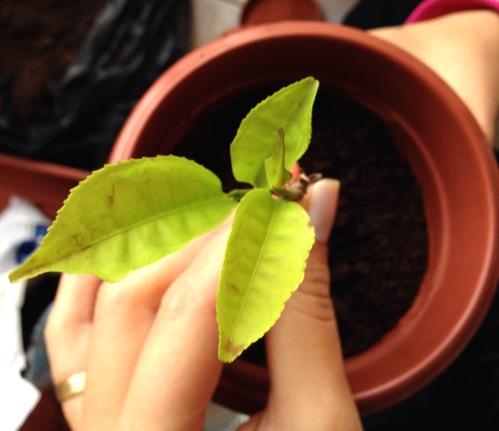 plantinha jane