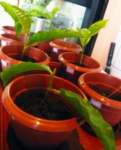 vasinhos plantados pq